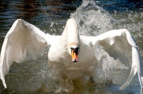 --angry goose